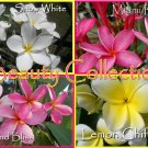 SALE *Beauty* Collection 4 Plumeria Frangipani Hawaiian Lei Cuttings