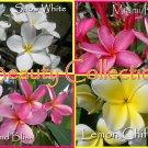 SALE *Beauty* Collection 4 Plumeria Frangipani Hawaiian Lei Cuttings