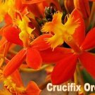 "Rare & Exotic 6 Reed-Stem ""Crucifix Orchid""- Epidendrum Radicans 8""-9"" cuttings"