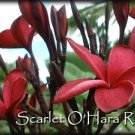 ~Scarlet O'Hara RED ~Rare Exotic Fragrant Plumeria Frangipani + Bonus cuttings