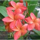 SALE ~ Leona Hoke~Rare Exotic Fragrant Plumeria Frangipani + Bonus cuttings