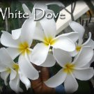SALE Rare Exotic Fragrant Big ~ White Dove~ Plumeria Frangipani  Bonus cuttings