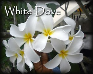 SALE Rare Exotic Fragrant Big ~ White Dove~ Plumeria Frangipani  Bonus cuttings