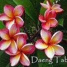 SALE Rare Exotic Fragrant Thai ~ Daeng Tabtim~ Plumeria Frangipani cutting