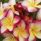 SALE Rare & Exotic Thai ~ Suvarnabhumi Sunshine~ Plumeria Frangipani cutting