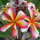 SALE Very Rare & Exotic ~ Candy Stripe~ Plumeria Frangipani cutting