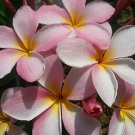 SALE RARE & Exotic! Cancun Pink Plumeria Frangipani cutting + FREE Bonus