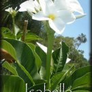 SALE Unique! Plumeria Obtusa *Isabella* + BONUS Cuttings Very Rare & Exotic