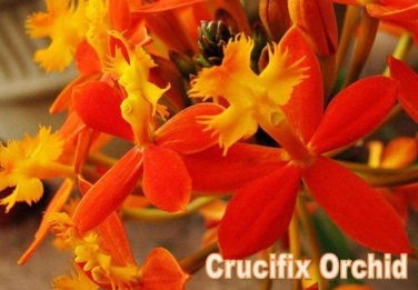 "12 Reed Stem ""Crucifix Orchid""- *SUNBURST* Epidendrum Radicans 6""-8"" cuttings"