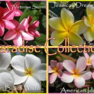 SALE (save $5) Paradise Collection 4 Plumeria Frangipani Hawaiian Lei Cuttings