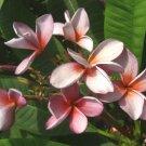 SALE 2 tip Siam Lavender Thai Plumeria frangipani cutting Rare Exotic fragrant