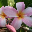 SALE Rare & Exotic Thai ~ Heavenly Daze~ Plumeria Frangipani multi tip cutting