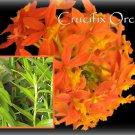 "2 Reed Stem ""Crucifix Orchid""- SUNBURST Epidendrum Radicans 6""-8"" fresh cuttings"