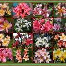"SALE PLUMERIA FRANGIPANI 10""+ LIVE WELL ROOTED PLANT Rare Fragrant Exotic"