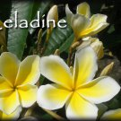 SALE (save $3) PSA#191 Celadine Hawaiian Plumeria Frangipani + bonus cuttings
