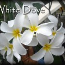 SALE (save $3) Rare Exotic ~ White Dove~ Plumeria Frangipani  Bonus cuttings