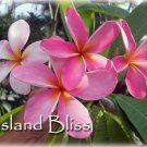 SALE (save $3) Island Bliss Rare & Exotic Plumeria Frangipani multi-tip cutting