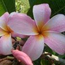 SALE (save $4) Rare & Exotic Thai ~ Heavenly Daze~ Plumeria Frangipani cutting