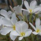 SALE (save $3) Exotic ~Hausten White~ PSA#098 Plumeria Frangipani cutting