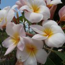 "SALE (save $3) Plumeria frangipani ""Lillianne"" cutting + BONUS rare & exotic"