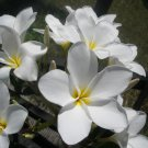 SALE (save $2) Rare & Exotic! *Palm Beach White* Plumeria frangipani Cutting