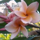 SALE (save $3) Rare Fragrant Thai *Salmon Pink* Plumeria frangipani cutting