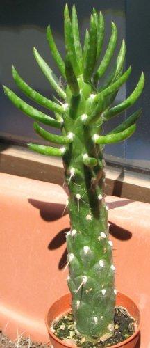 Rainbow Wall Live Cactus ***  Buy Live Cactus