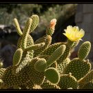 Bunny Ear Cactus - Golden Color Variety