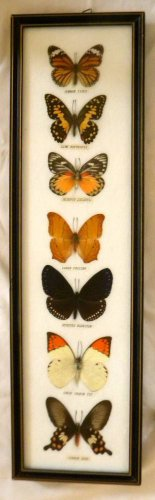 Framed Butterflies From Asia at Rainbow Wall ***   Buy Framed Butterflies From Asia