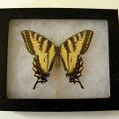 Framed Butterfly - Eastern Tiger Swallowtail
