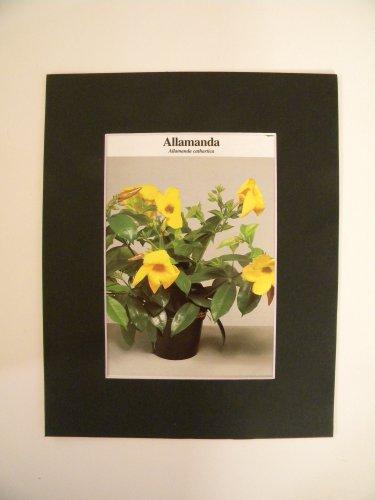 Matted Print - 8x10 - Flower - Allamanda