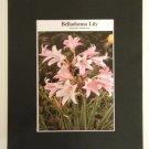 Matted Print - 8x10 - Flower – Belladonna Lily