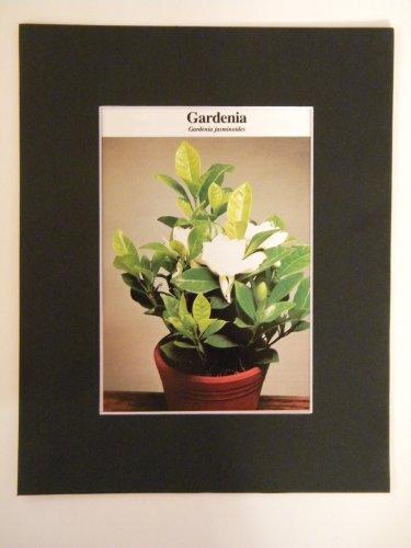 Matted Print - 8x10 - Flower � Gardenia