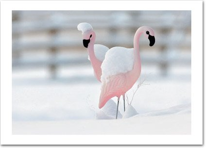 Flamingos in the Snow Holiday Card