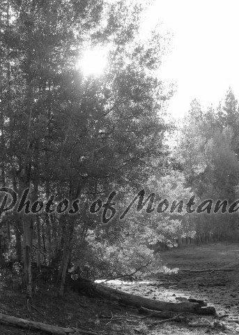 5x7 Photo ~ Black & White #004 Sun shining through the trees