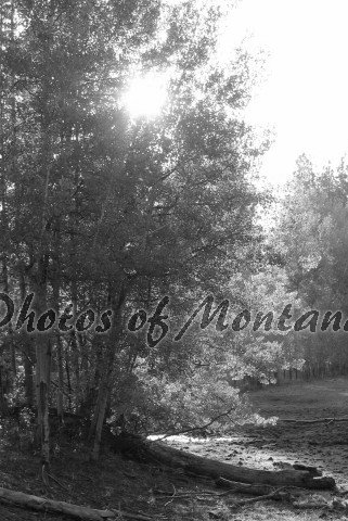 4x6 Photo ~ Black & White #004 Sun shining through the trees