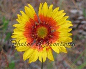 8x10 Photo ~ Flowers #002 Brown-Eyed Susan - Blanket Flower