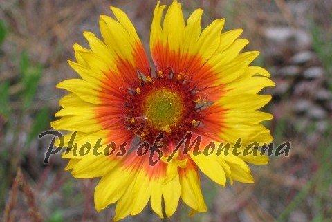 4x6 Photo ~ Flowers #002 Brown-Eyed Susan - Blanket Flower