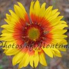 4x6 Photo ~ Flowers #002 Brown-Eyed Susan - Blanket Flower