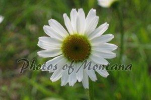 4x6 Photo ~ Flowers #001 Daisy