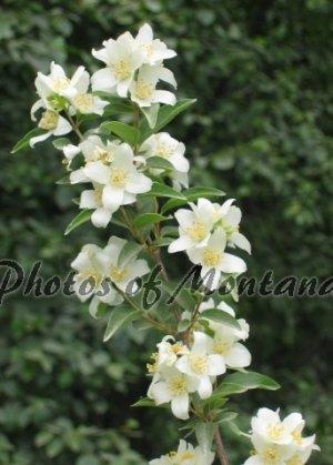 5x7 Photo ~ Flowers #003 Syringa