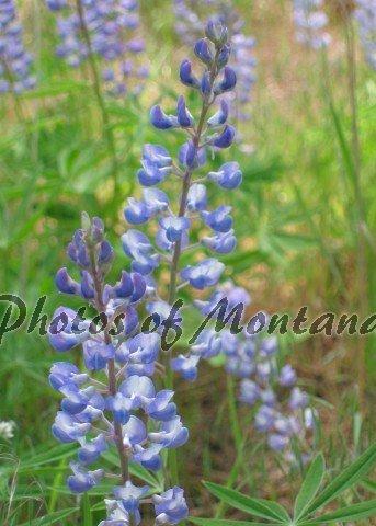 5x7 Photo ~ Flowers #004 Lupine