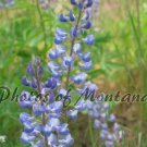 5x7 Photo ~ Flowers #004 Lupine