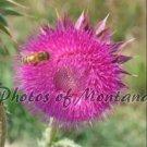 5x7 Photo ~ Flowers #005 Honeybee on Thistle