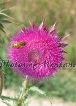 5x7 Photo ~ Flowers #005 Honeybee on Thistle