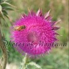 8x10 Photo ~ Flowers #005 Honeybee on Thistle