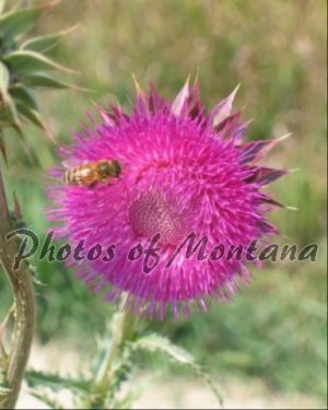 8x10 Photo ~ Flowers #005 Honeybee on Thistle
