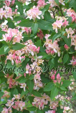 4x6 Photo ~ Flowers #006 flowering bush - pink flowers