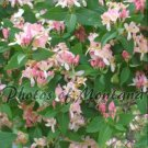 8x10 Photo ~ Flowers #006 flowering bush - pink flowers