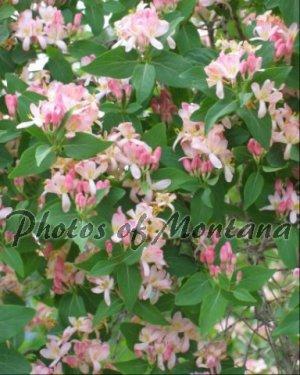 8x10 Photo ~ Flowers #006 flowering bush - pink flowers